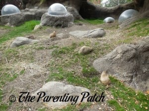 Prairie Dogs at Prospect Park Zoo