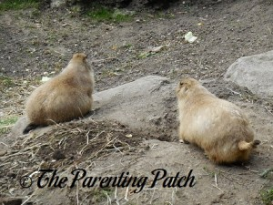 Two Prairie Dogs at Prospect Park Zoo