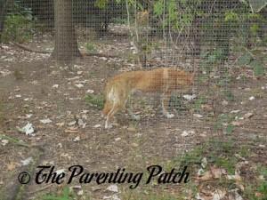 Dingo at Prospect Park Zoo