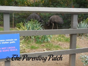 Emus at Prospect Park Zoo
