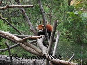 Red Panda at Prospect Park Zoo
