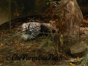 Porcupine at Prospect Park Zoo