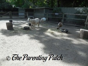 Goats at Prospect Park Zoo