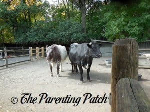 Cows at Prospect Park Zoo