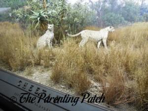 Cheetahs at the American Museum of Natural History