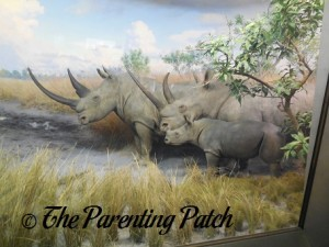 White Rhinos at the American Museum of Natural History