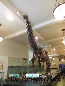 Apatosaurus at the American Museum of Natural History