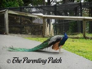 Peacock at the Henson Robinson Zoo 1