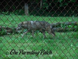 Red Wolf at the Henson Robinson Zoo