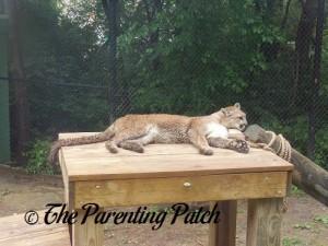 Cougar at the Henson Robinson Zoo 1