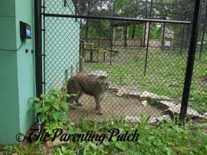 Cougar at the Henson Robinson Zoo 2