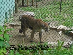 Cougar at the Henson Robinson Zoo 3
