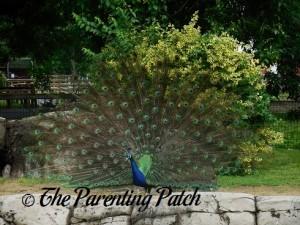 Peacock at the Henson Robinson Zoo 2