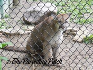 Cougar at the Henson Robinson Zoo 4