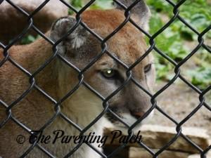 Cougar at the Henson Robinson Zoo 5