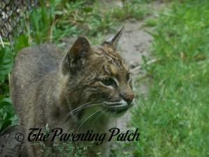 Bobcat at the Henson Robinson Zoo
