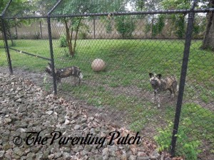 African Wild Dogs at the Henson Robinson Zoo 1
