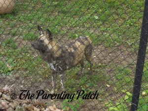African Wild Dog at the Henson Robinson Zoo