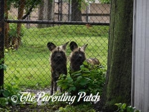 African Wild Dogs at the Henson Robinson Zoo 2