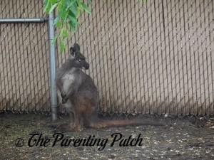 Wallaby at the Henson Robinson Zoo