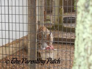 Big Cat at the Henson Robinson Zoo