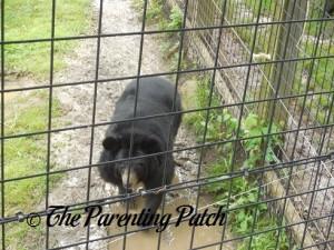 Asiatic Black Bear at the Henson Robinson Zoo 1