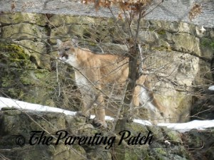 Mountain Lion at the Bergen County Zoological Park 1