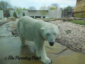 Polar Bear at Henry Vilas Zoo 3