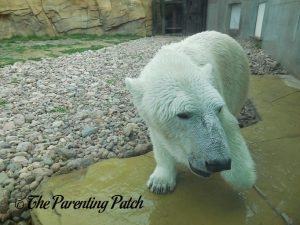 Polar Bear at Henry Vilas Zoo 4