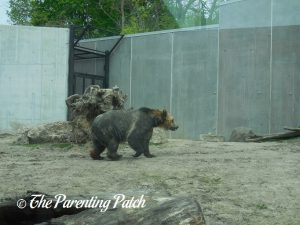 Grizzly Bear at Henry Vilas Zoo 1