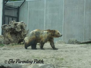 Grizzly Bear at Henry Vilas Zoo 2