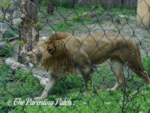 Lion at Henry Vilas Zoo