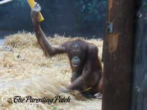 Orangutan at Henry Vilas Zoo