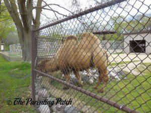 Camel at Henry Vilas Zoo