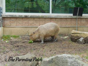 Capybara at Henry Vilas Zoo
