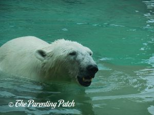 Polar Bear at Henry Vilas Zoo 1