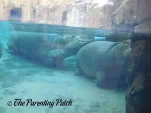 Hippos at the Cincinnati Zoo and Botanical Garden