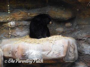 Black Bear at the Cincinnati Zoo and Botanical Garden