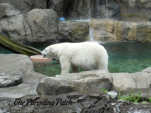 Polar Bear at the Cincinnati Zoo and Botanical Garden