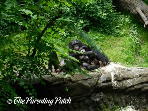 Bonobos at the Cincinnati Zoo and Botanical Garden