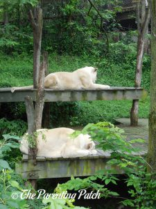 White Lions at the Cincinnati Zoo and Botanical Garden