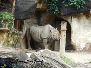 Rhino at the Cincinnati Zoo and Botanical Garden