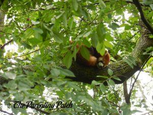 Red Panda at the Cincinnati Zoo and Botanical Garden