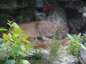 Cougar at the Cincinnati Zoo and Botanical Garden