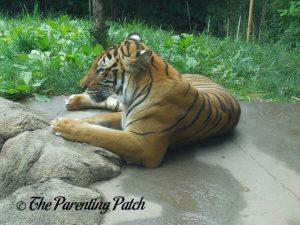 Adult Tiger at the Cincinnati Zoo and Botanical Garden