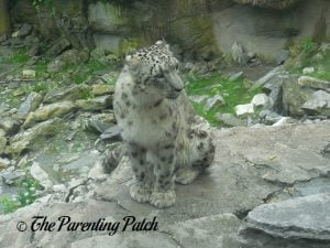Snow Leopard at the Cincinnati Zoo and Botanical Garden