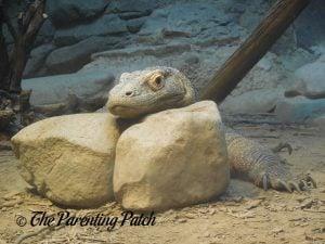 Komodo Dragon at the Cincinnati Zoo and Botanical Garden