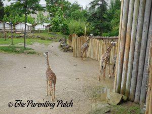 Giraffes at the Cincinnati Zoo and Botanical Garden