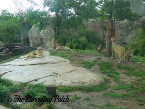 Lions at the Cincinnati Zoo and Botanical Garden
