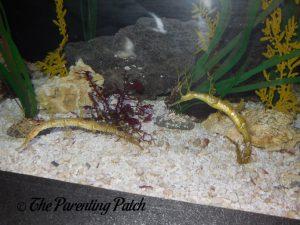Yellow Sea Horses at the Newport Aquarium